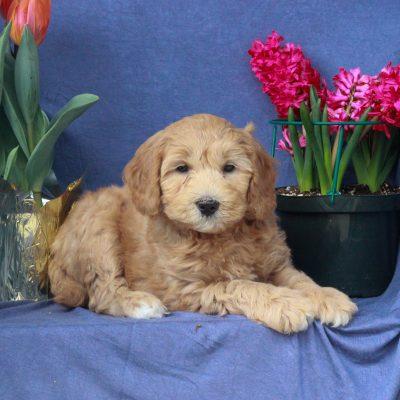 Archer - puppie F1b Mini Labradoodle male for sale near Mercersburg, Pennsylvania