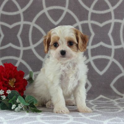 Archer - f1 Cavachon male puppie for sale at Gordonville, Pennsylvania