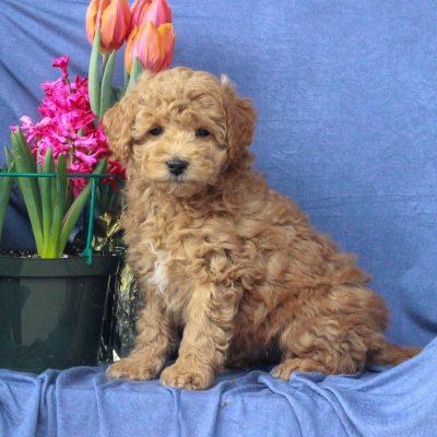 Arlo - F1b Mini Labradoodle male pup for sale at Mercersburg, Pennsylvania