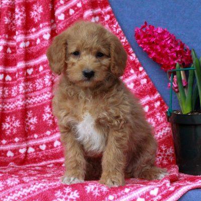 Aubrey - F1b Mini Labradoodle puppie for sale at Mercersburg, Pennsylvania