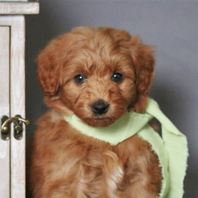 Austin - F1bb Micro Goldendoodle male puppy for sale at Newmanstown, Pennsylvania
