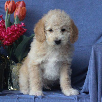 Axel - F1b Mini Labradoodle puppy for sale in Mercersburg, Pennsylvania