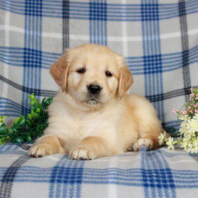 Bailey - AKC Golden Retriever pup for sale at Gap, Pennsylvania