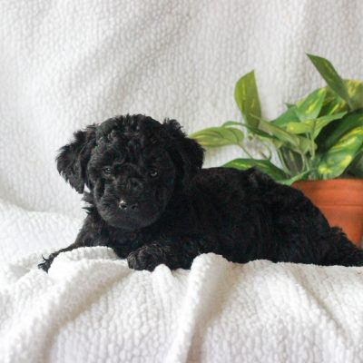 Baxter - Yorkipoo male pup for sale at Mercersburg, Pennsylvania
