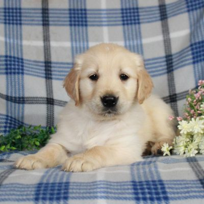 Baxter - AKC Golden Retriever male puppie for sale at Gap, Pennsylvania