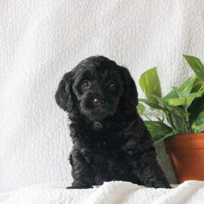 Becca - female Yorkipoo puppy for sale in Mercersburg, Pennsylvania