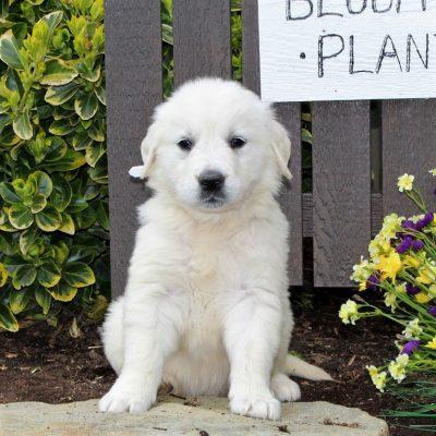 Bella - AKC English Cream Golden Retriever female pup for sale in Mercersburg, Pennsylvania