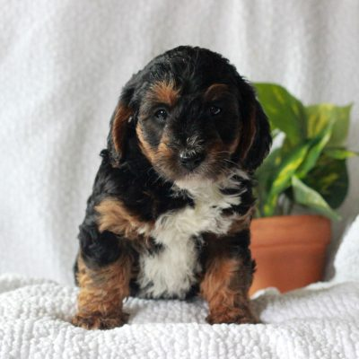 Benji - puppie Yorkipoo for sale near Mercersburg, Pennsylvania