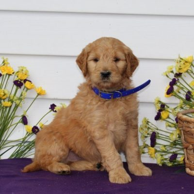 Billy - Mini Goldendoodle