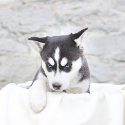 Black - Siberian Husky pup for sale near Hagerstown, Maryland