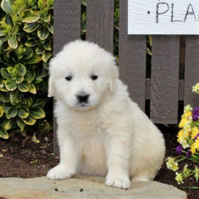 Blain - AKC English Cream Golden Retriever puppy for sale near Mercersburg, Pennsylvania