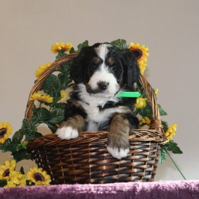 Bliss - puppy F1 Standard Bernedoodle for sale in Washington Boro, Pennsylvania