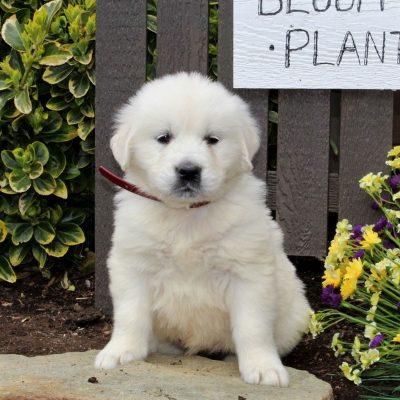Blossom - puppie AKC English Cream Golden Retriever for sale at Mercersburg, Pennsylvania