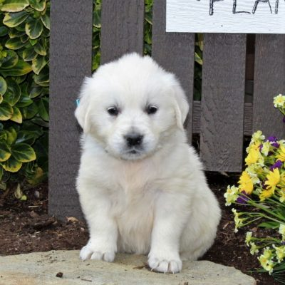 Bonnie - AKC English Cream Golden Retriever female doggie for sale near Mercersburg, Pennsylvania