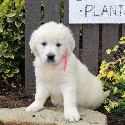 Brandy - AKC English Cream Golden Retriever pup for sale in Mercersburg, Pennsylvania