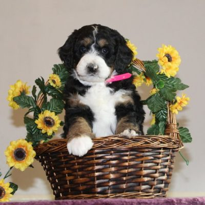 Brooke - F1 Standard Bernedoodle pup for sale at Washington Boro, Pennsylvania