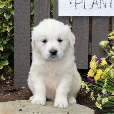 Bruno - AKC English Cream Golden Retriever male puppie for sale near Mercersburg, Pennsylvania