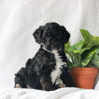 Bruno - Yorkipoo male doggie for sale in Mercersburg, Pennsylvania