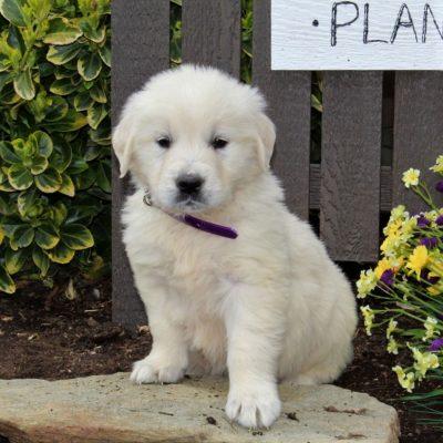 Bubbles - AKC English Cream Golden Retriever male puppie for sale near Mercersburg, Pennsylvania