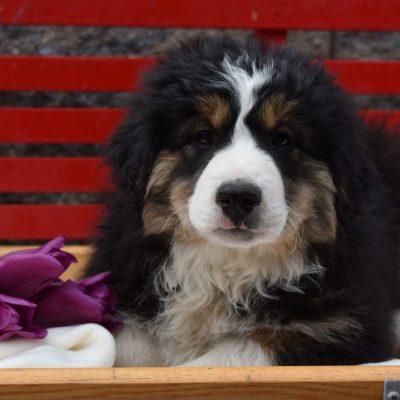 Buster - Mini Australian Shepherd male doggie for sale in Millersburg, Pennsylvania