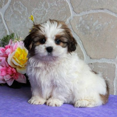 Caramel - Shih Tzu female puppie for sale at Gordonville, Pennsylvania