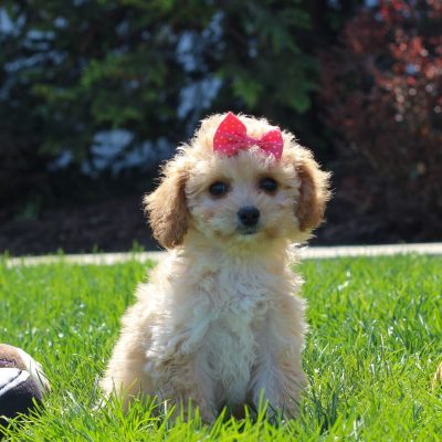 Carley - F1 Cavachon poodle female pup for sale at Mercersburg, Pennsylvania