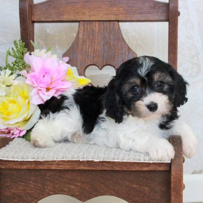 Cassie - puppie female f1 Cavachon for sale