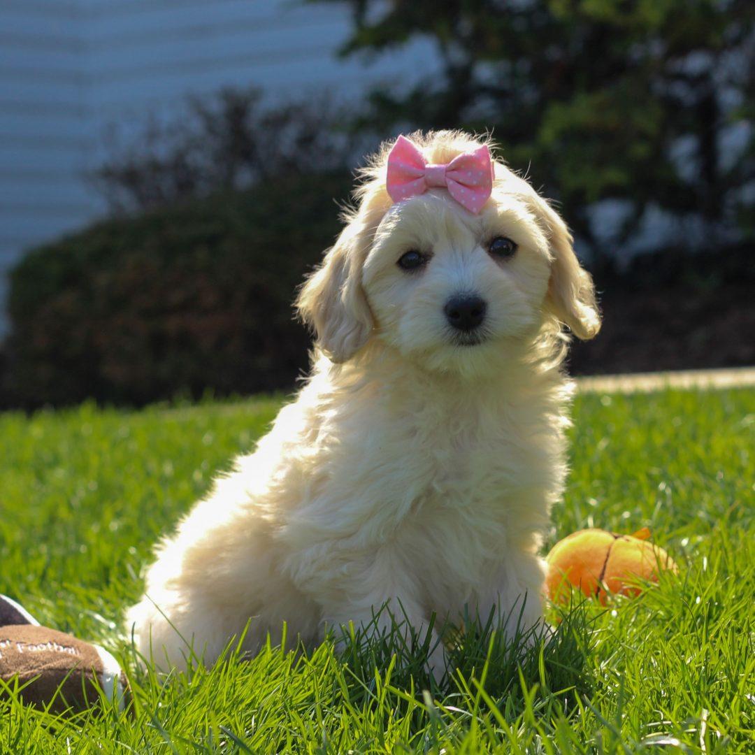Cassie - pupper F1 Cavachon poodle female for sale near Mercersburg, Pennsylvania