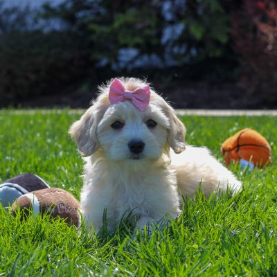 Cassie - pupper F1 Cavachon poodle female for sale near Mercersburg, Pennsylvania