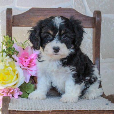 Cece - f1 Cavachon pupper for sale