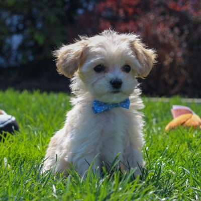 Charlie - F1 Cavachon poodle male doggie for sale near Mercersburg, Pennsylvania
