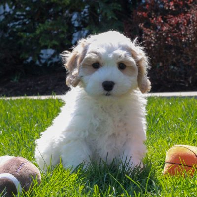 Chase - puppy F1 Cavachon poodle male for sale in Mercersburg, Pennsylvania