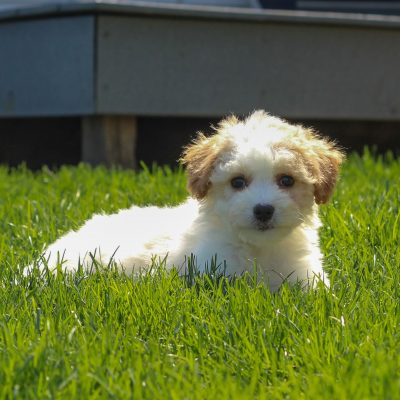 Chloe - F1 Cavachon poodle female puppy for sale in Mercersburg, Pennsylvania