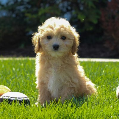 Chuck - male F1 Cavachon poodle puppie for sale at Mercersburg, Pennsylvania