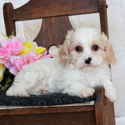 Coconut - f1 Cavachon pup for sale