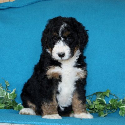 Daisy - F1 Standard Bernedoodle puppy for sale in Notingham, Indiana