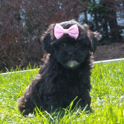 Daisy - F1 Shihpoo female doggie for sale in Mercersburg, Pennsylvania