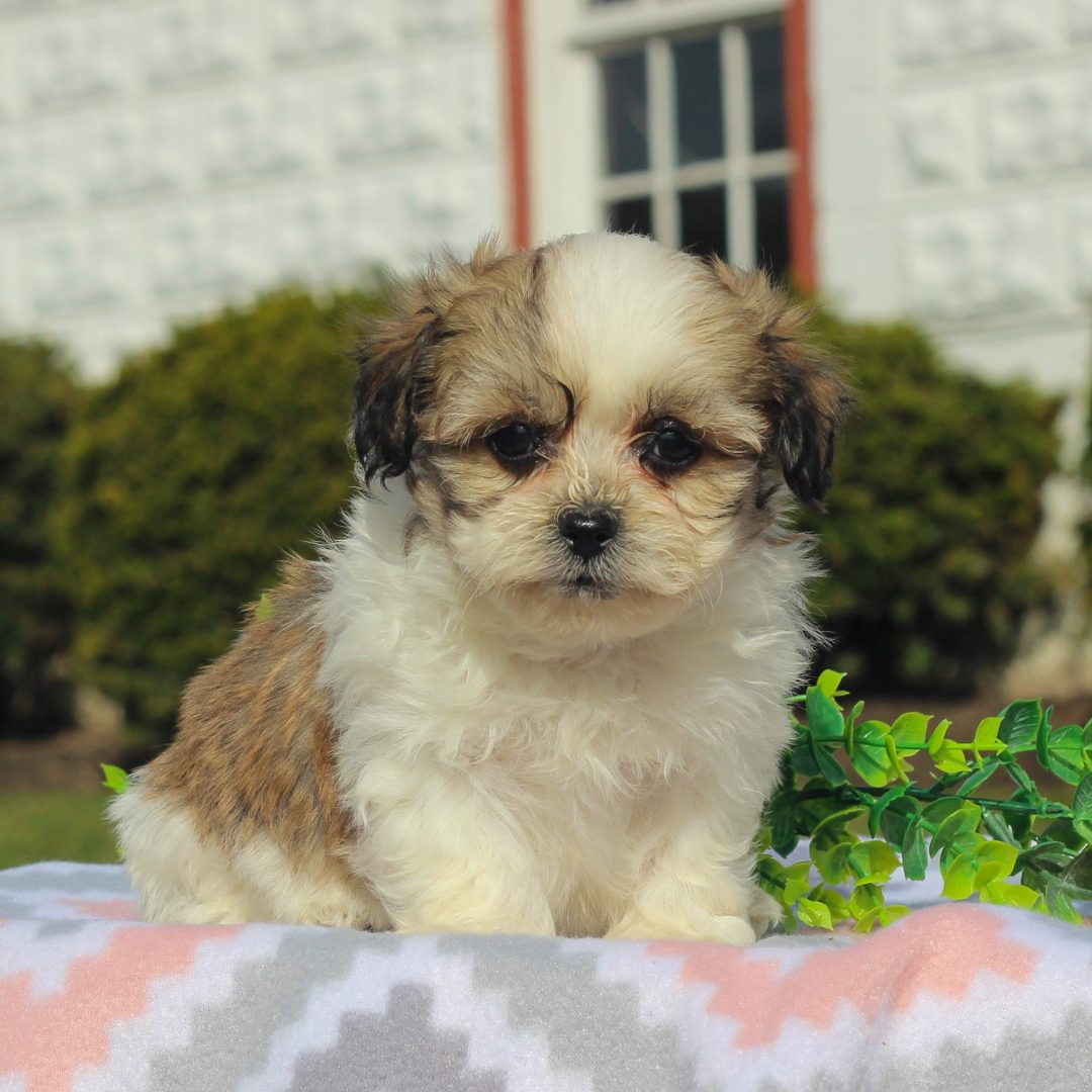 Daisy - female F1 Shichon doggie for sale in Mercersburg, Pennsylvania