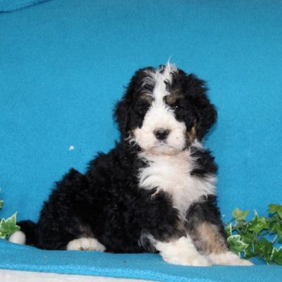 Danny - F1 Standard Bernedoodle male puppie for sale in Notingham, Indiana