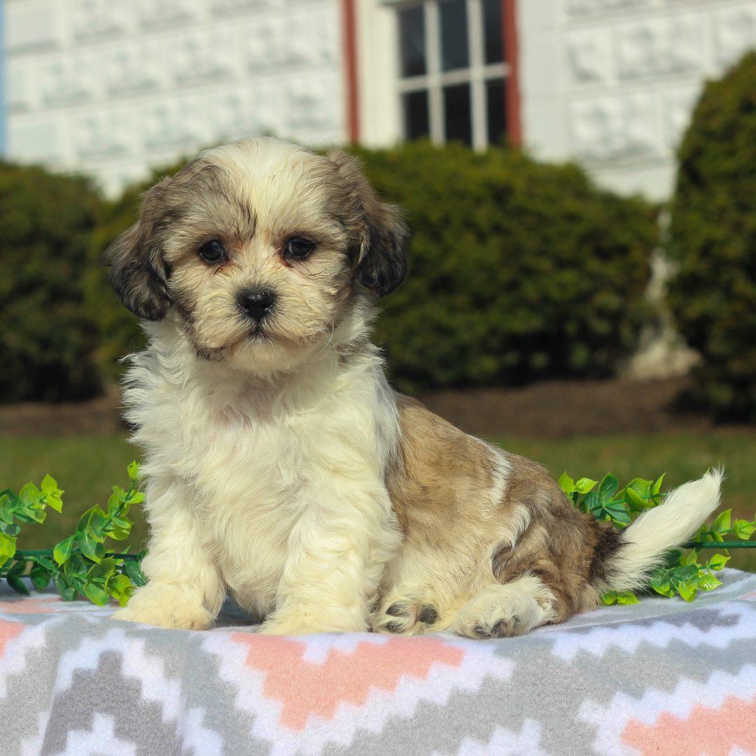 Demi - F1 Shichon puppy for sale at Mercersburg, Pennsylvania
