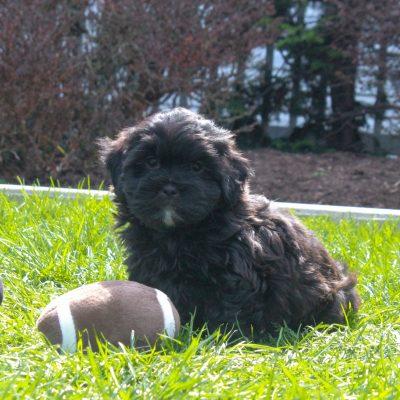 Derek - F1 Shihpoo male pupper for sale at Mercersburg, Pennsylvania
