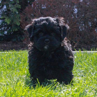 Dillon - F1 Shihpoo male puppy for sale in Mercersburg, Pennsylvania