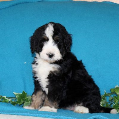 Dolly - F1 Standard Bernedoodle female pup for sale at Notingham, Indiana