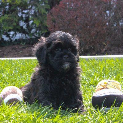 Dominic - puppie F1 Shihpoo male for sale near Mercersburg, Pennsylvania