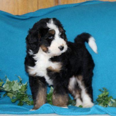 Dunkin - male F1 Standard Bernedoodle pupper for sale near Notingham, Indiana