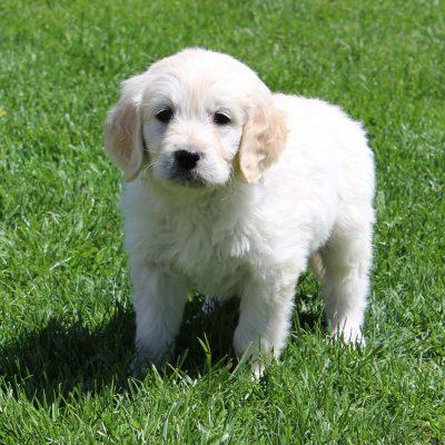 Eddie - male F1 Standard Goldendoodle puppie for sale in Lebanon, Pennsylvania