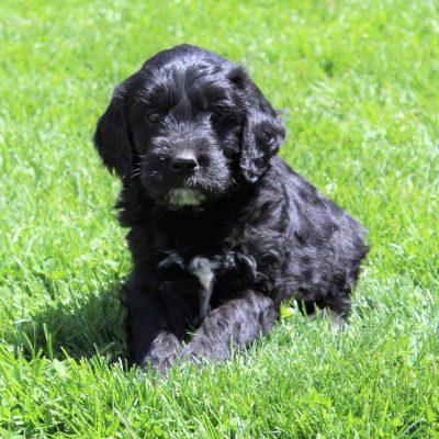 Eldo - F1 Standard Goldendoodle pup for sale at Lebanon, Pennsylvania