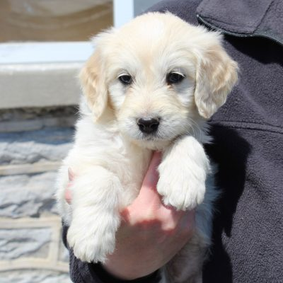 Eliza - F1 Standard Goldendoodle female doggie for sale at Lebanon, Pennsylvania