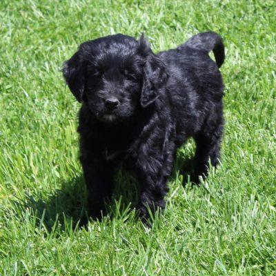 Ellie - F1 Standard Goldendoodle pup for sale at Lebanon, Pennsylvania