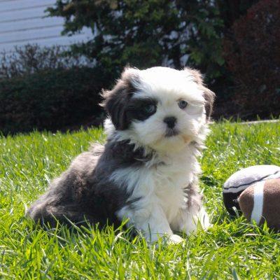 Emily - pupper ShihTzu female for sale at Mercersburg, Pennsylvania